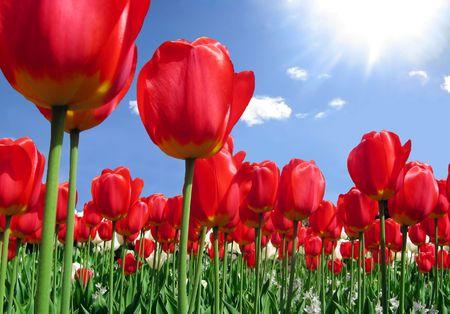 Pole czerwone tulipany z białego i niebieskiego nieba z promieni słonecznych