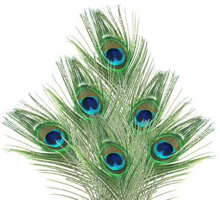 pavo real: Fan plumas de pavo real aislados en fondo blanco