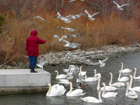 Feeding swans and seagulls on a shore in autumn Stock Photo
