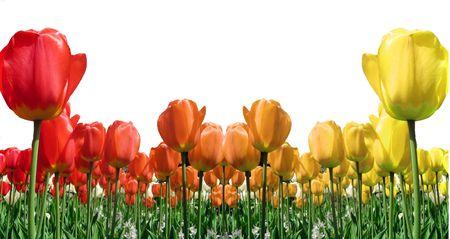 Pole ognia kolorowe tulipany izolowana na białym tle