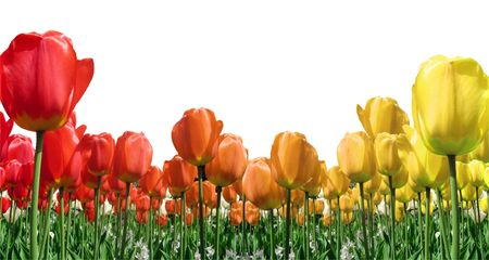 Border of flame colored tulips isolated on white background Stock Photo