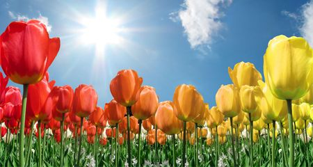 tulips: Field of flame colored tulips with blue sky and starburst sun Stock Photo
