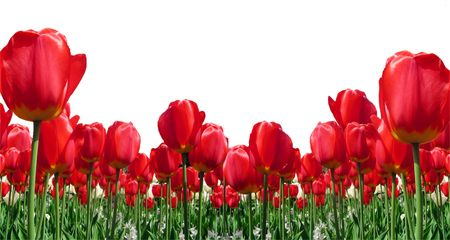 Border of red tulips isolated on white background