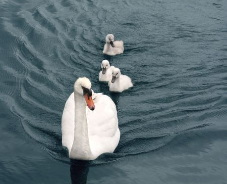 Mother swan with three babies