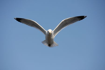 Soaring seagull isolated on blue sky background