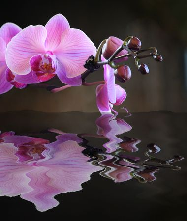 Closeup view of pink orchids with buds reflected in water