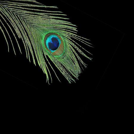 plummage: Single peacock feather over black