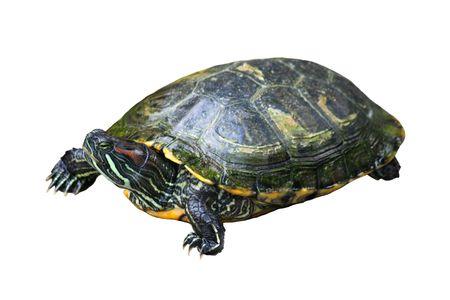 Painted turtle isolated on white background Stock Photo