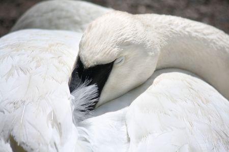 Widok Closeup sleeping Łabędź z dziób tucked do jego piór