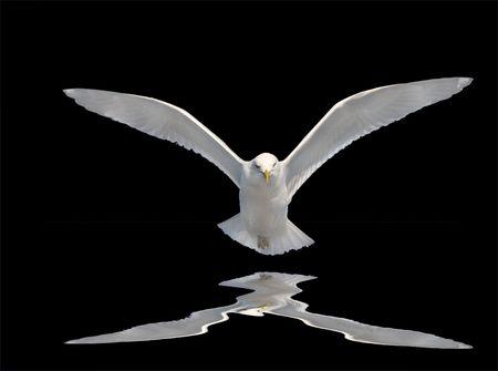 Holy Spirit Bird on black with reflection