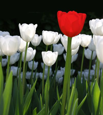 One red tulip with white tulips in sunshine