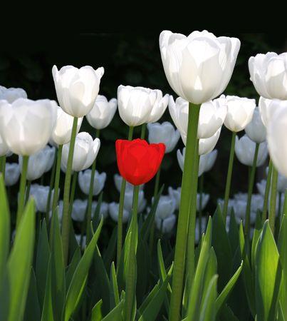 Jeden czerwony tulipan z białym tulipanów w słońcu