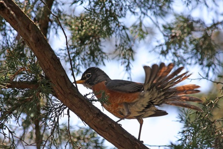 Robin perched on a branch fluffs his feathers to dry them.
