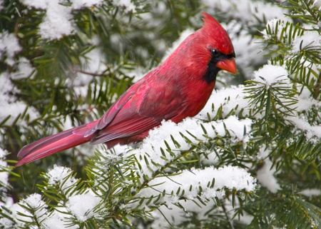 cardinal bird: Bright red cardinal perched on a snowy evergreen branch