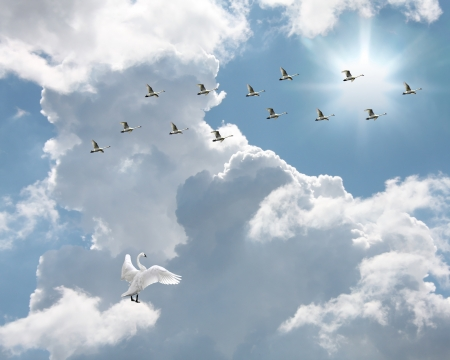 Flock of swans flying into sunlit sky with single swan looking on