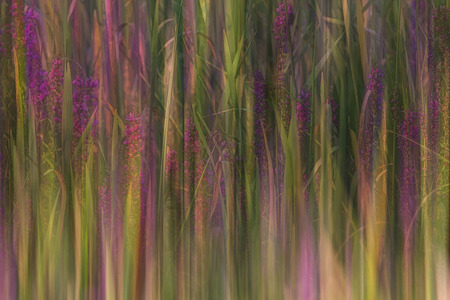 Abstract field of lupins blooming in sunshine