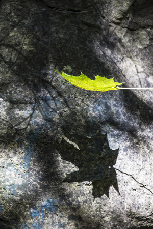 Maple leaf with a sharp shadow floating down in front of a boulder
