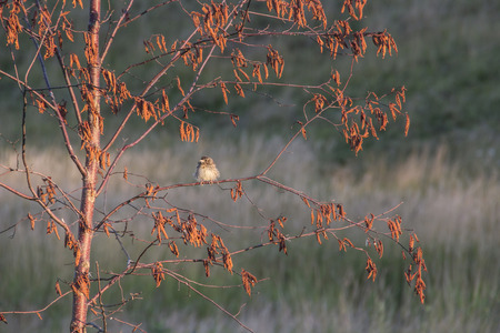 Tousled bird perched on an autum branch in morning light