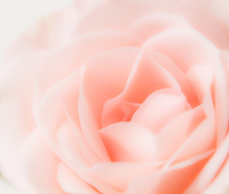 Close-up view of delicate pink rose with soft petals Stock Photo