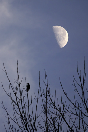 Silhouette of solitary bird on bare branches under the moon