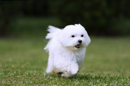 spirited: A white maltese dog running on the lawn