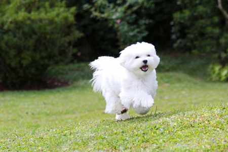A white maltese dog running on green grass and plants background