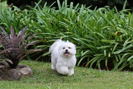 녹색 잔디와 식물 배경에서 실행 흰색 몰타어 강아지