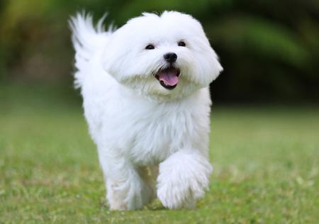 Ein weißer Malteser Hund auf dem Rasen läuft
