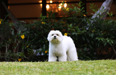 maltese dog: A white maltese dog standing on the lawn