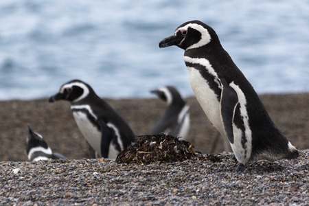 penguins on beach: Patagonia penguins walking on the beach Stock Photo