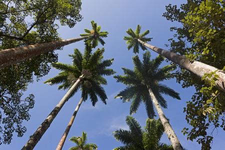 royal: Royal Palm Trees at Botanical Garden, Rio de Janeiro, Brazil Stock Photo