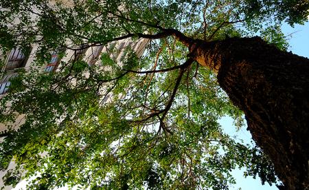 tall tree: Tall tree