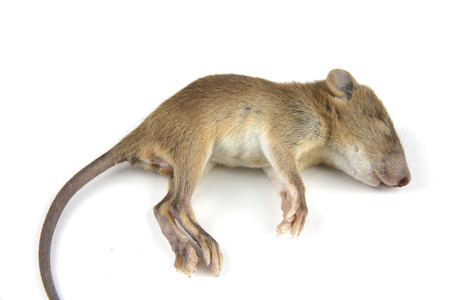 dead rat: mouse  dead blood out nose Stock Photo