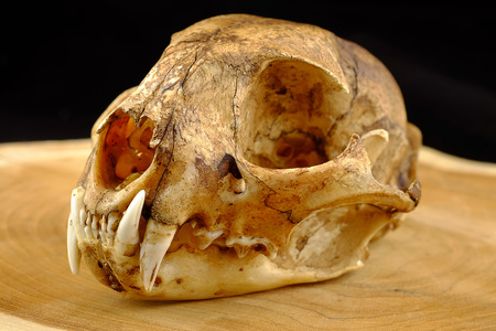 canine: asian goldden cat  or Temmincks cat skull and canine on wood