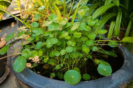 asiatica: Centella asiatica in the pool