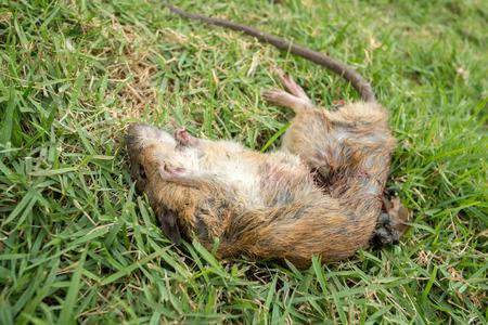 dead rat: a dead rat  on  grass Stock Photo