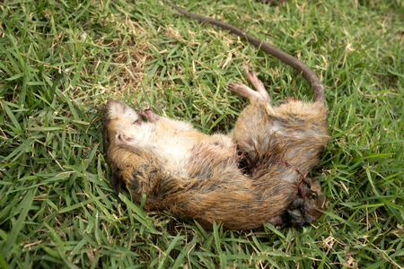 exterminate: a dead rat  on  grass Stock Photo