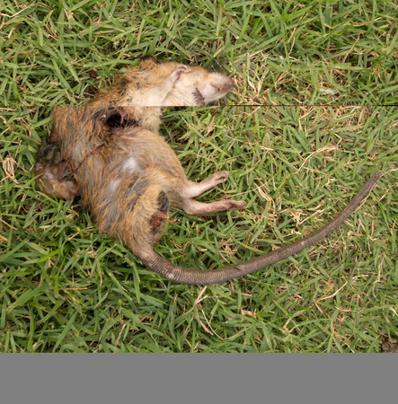 poisoned: a dead rat  on  grass Stock Photo