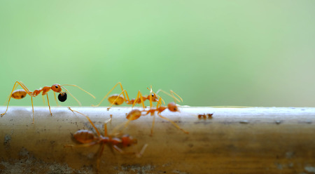 aggressor: red ants on the wood close-up