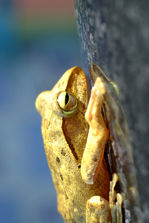 tiny frog: Golden Tree Frog or Yellow Frog  in Thailand - Close up - Macro - (Selective focus)