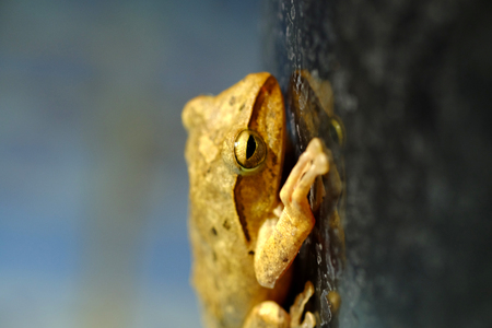 horned frog: Golden Tree Frog or Yellow Frog  in Thailand - Close up - Macro - (Selective focus)