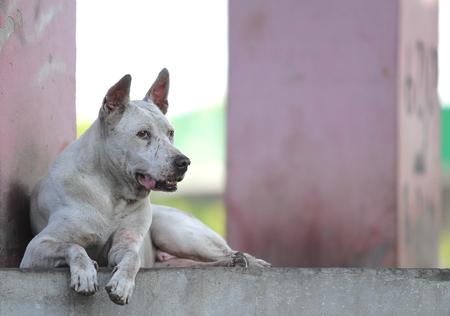 Dog in Thailand