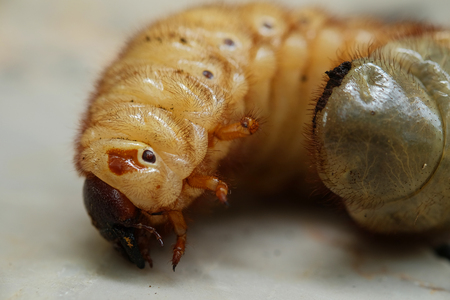 squirm: beetle larvae in asia,Thailand.(Selective focus)