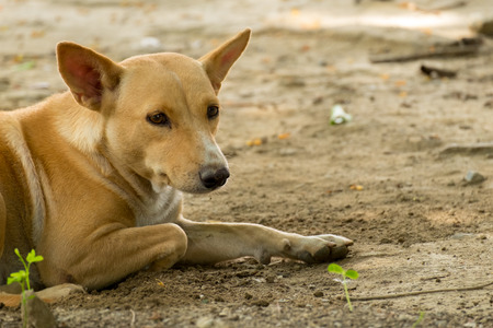 scavenger: Thailand Dog Looking a Hope