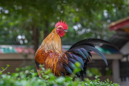 Asia Rooster or Chickens in Thailand.(Selective focus) Stock Photo