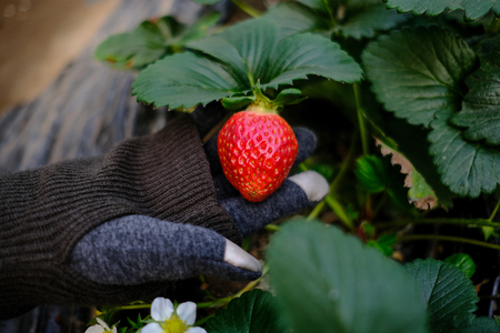 Closeup hand holding of red strawberries with planting strawberry. (Selective focus)