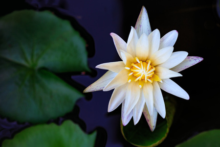 White lotus in pool