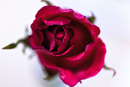 rose flower of love in valentine day