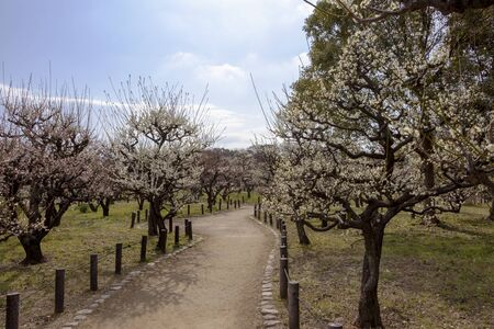 Ume trees with white blossoms Stockfoto