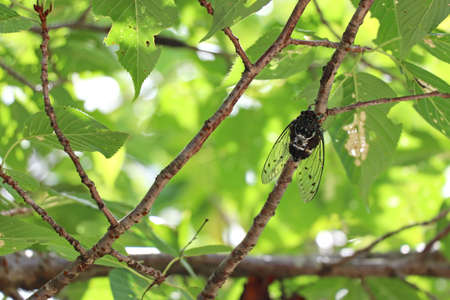 Robust cicada on a thin branch